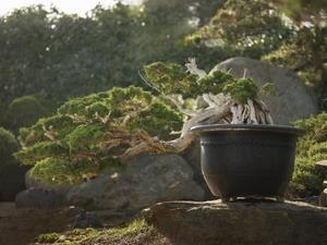 Comment recueillir Bonsai sauvage