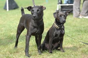 Les symptômes d'une tumeur thoracique canine