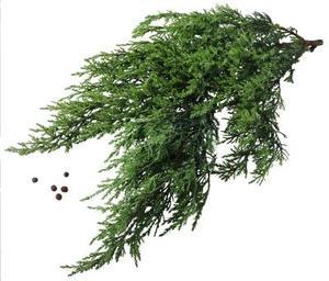 Araignées dans Evergreens