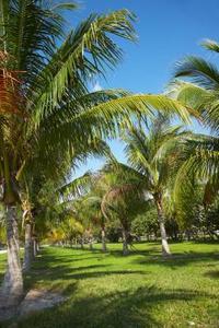 La plantation et espacement d'un cocotier