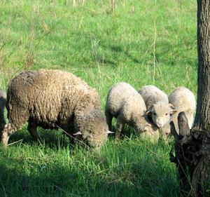 Comment raconter une peau de mouton véritable Pelt