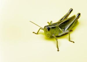Différentes cultures qui se nourrissent d'insectes