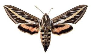 Quels sont certains des papillons qui volent After Dark?