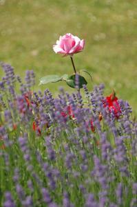 Le sens de Pacific Blue Roses