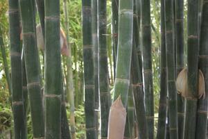 Informations sur le bambou Moso Arbre