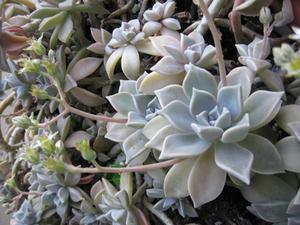 Plantes naines pour Trough Gardens