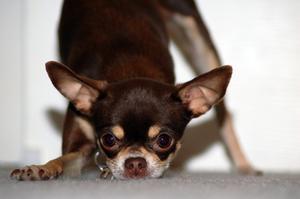 Le meilleur type de chiens à l'intérieur pour les petites maisons