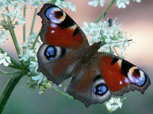 Combien de temps dois Papillons rester dans leurs cocons?