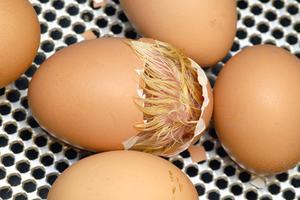 Comment construire un incubateur Egg