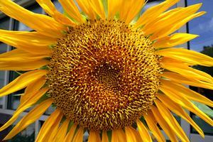 Comment planter des graines de tournesol en pots