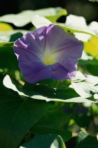 Quel type de plantes poussent sur des vignes et des fleurs pourpres?
