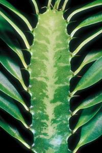 Comment Propager Euphorbia Trigona