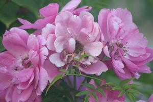 Les variétés de roses roses