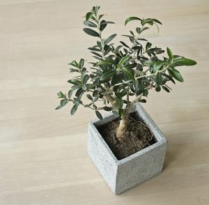 Olive intérieure soin des arbres