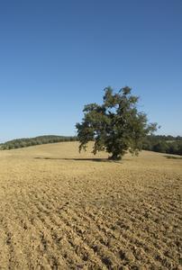 Ornementales oliviers