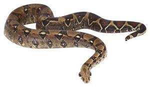 Comment Dessinez Snakes