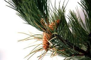 Arbres Evergreen Avec Pine Needles
