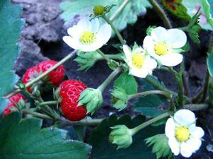 Comment récolter les semences Strawberry