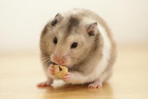 Quels sont les signes que les hamsters meurent?