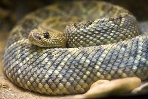 Comment monter une peau Rattle Snake un conseil