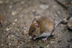 Comment se débarrasser des souris dans les murs de l'immobilier