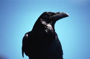 Raven Artisanat