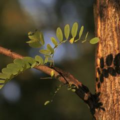 Acacia Plant Information