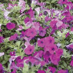 Couvre-sol fleurs annuelles