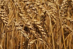 Comment manger de germe de blé pour perdre du poids