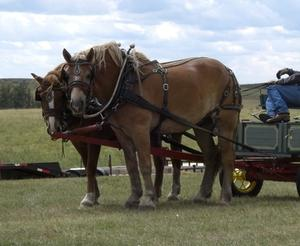 Draft Horse information