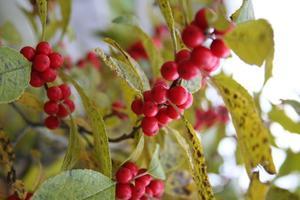 Que dois-je Homme houx plante avec Ilex Winterberry?