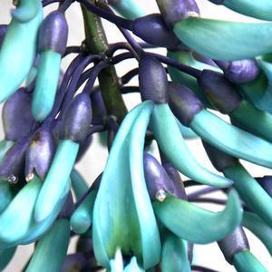 Comment cloner Plantes Jade