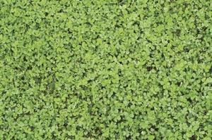 Comment faire une pelouse de trèfle