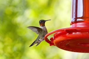 Espèce en voie de disparition Hummingbird
