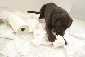 Conseils de formation pot pour Labradors chocolat