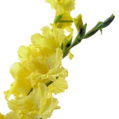 Liste des plantes à fleurs qui apparaissent dans Bouquets