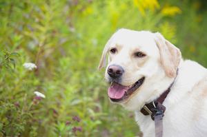 Les symptômes de convulsions chez un chien Labrador