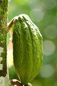 Comment obtenir des graines Theobroma Cacao végétales