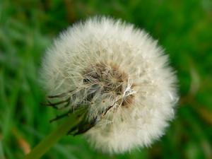 Comment identifier les mauvaises herbes sur ma pelouse