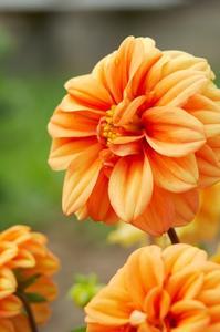 Le sens de la fleur de dahlia