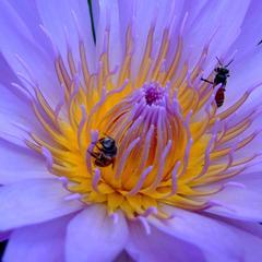 Quels types de fleurs les abeilles mangent le pollen de?