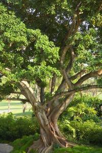 Lorsque Do Fig Trees Blossom?
