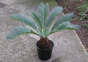 Comment prendre soin de Sego Palms