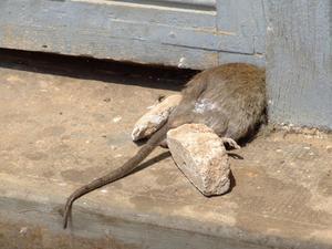 Comment se d barrasser d 39 une odeur de rat mort dans la maison - Comment se debarrasser des rats ...