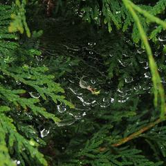 Informations sur les arbres de saule hybrides