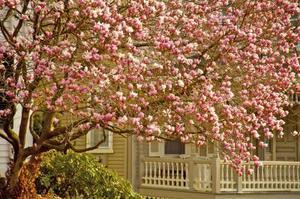 Quand Couper un arbre Tulip?