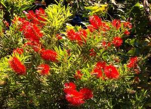 Sud-Evergreen arbustes ornementaux