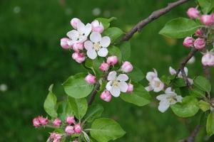Les meilleurs arbres Small White floraison Crabapple