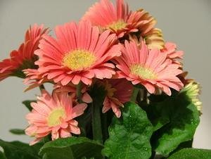 Gerbera Fleur Faits