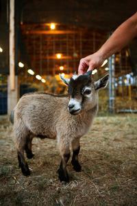 Comment garder les chèvres pygmées